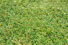 Cotoneaster dammeri stock image