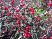 Cotoneaster dammeri red berries and Lichen Moss. Background stock photography