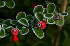 Cotoneaster et glace 01 image stock