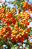 Cotoneaster horizontalis. In the garden Royalty Free Stock Photos