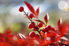 Cotoneaster horizontalis Stock Photos