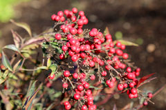 Cotoneaster horizontalis Royalty Free Stock Image