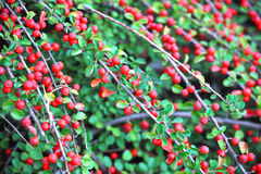 Cotoneaster horizontalis plant Royalty Free Stock Photography