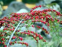 Cotoneaster i höst Royaltyfria Bilder