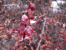 Cotoneaster icy leaves arkivfoto