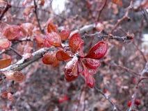 Cotoneaster icy leaves royaltyfri bild