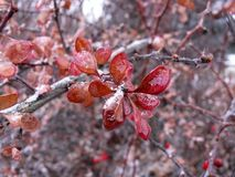 Cotoneaster. Icy leaves royalty free stock image