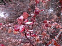 Cotoneaster. Icy leaves. Cotoneaster. Icy red leaves of the Bush. Late autumn. Frost. Snowball. Ornamental garden royalty free stock photo
