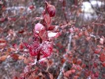 Cotoneaster Ijzige Bladeren stock foto