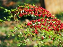 Cotoneaster im Herbst Stockbild