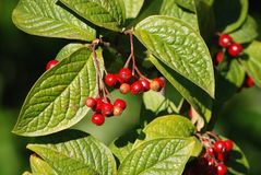Cotoneaster lacteus Royalty Free Stock Photos