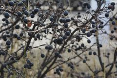 Cotoneaster in late autumn. Branches with berries.  royalty free stock images