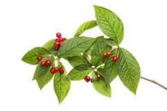 Cotoneaster leaves and berries. Isolated against white Stock Photography