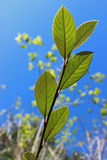 Cotoneaster leaves. Outlined on a sunny day Royalty Free Stock Photo