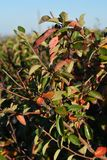 Cotoneaster lucidus in autumn. Colorful leaves and black berries on the background of blue sky.  royalty free stock photo
