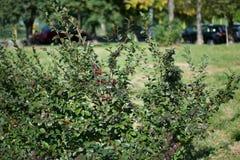 Cotoneaster lucidus Hecke Cotoneaster in den yars stockbild