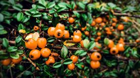 Cotoneaster, Orange Fruits Royalty Free Stock Photography