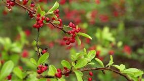 Cotoneaster pannosus rote Winterberriesanlagen stock video footage