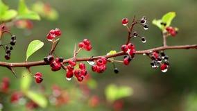 Cotoneaster pannosus rote Winterberriesanlagen stock footage