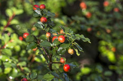 Cotoneaster with red berries Stock Image