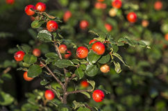 Cotoneaster with red berries Royalty Free Stock Photography