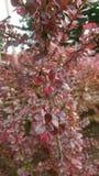 Cotoneaster rojo Fotografía de archivo
