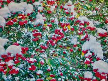 Cotoneaster tree with red berries Stock Image