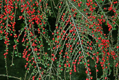 Cotoneaster twigs with berries Royalty Free Stock Images