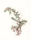 Cotoneaster watercolor painting Stock Photos