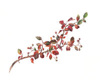 Cotoneaster watercolor painting. The hand painted watercolor of a cotoneaster branch Stock Photo