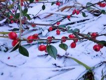 Cotoneasterbessen in de Sneeuw Royalty-vrije Stock Foto