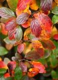 Cotoneasterbuske med höstsidor arkivbild