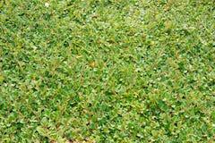 Cotoneasterdammeri stock afbeelding