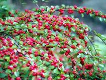 Cotoneasterzweige im Herbst Lizenzfreies Stockbild