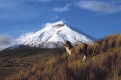 Cotopaxi, Ecuador 12 giugno 2006: Una coppia di pertiche dei lama sulla t Immagini Stock