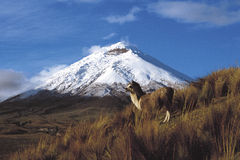 Cotopaxi, Ecuador June 12, 2006: A couple of llamas perches on t Stock Images