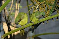 Cotorra, pássaro nativo de Colômbia Fotos de Stock