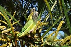 Cotorra, pássaro nativo de Colômbia Imagens de Stock