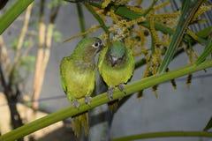 Cotorra, pássaro nativo de Colômbia Fotos de Stock Royalty Free