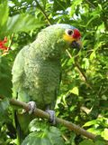 Cotorra parrot green from Central America Royalty Free Stock Photos