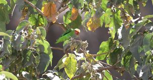 cotorra rizada Negro-coa alas que come la fruta