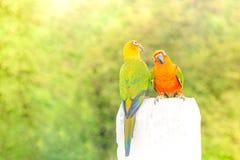 Cotorra rizada verde del loro Foto de archivo libre de regalías