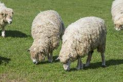 Cotswold狮子绵羊 免版税库存图片
