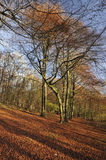 Cotswold Beech Woodland Stock Images