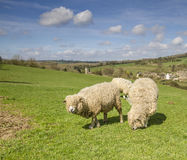 Cotswold Lion Sheep Stock Photography