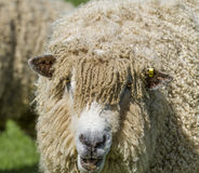 Cotswold Lion Sheep Stock Photos