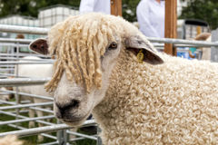 Cotswold-Schafe an der landesweiten Show Hanbury, England Lizenzfreie Stockfotografie