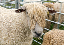 Cotswold Sheep at the Hanbury Countryside Show. Cotswold Sheep were first introduced into the UK by the Romans but are now classified as a rare breed. They are Stock Images