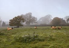 Cotswolds, early morning with sheep Royalty Free Stock Images