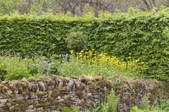 Cotswolds stone fence, green hedge in a wild garden. Stone fence, high leafy hedge in a summer wild garden in an english countrye Royalty Free Stock Photo